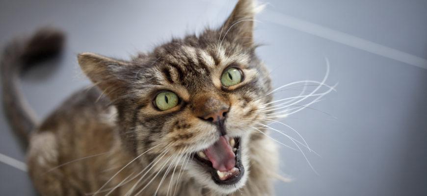 Кошка кричит ночью