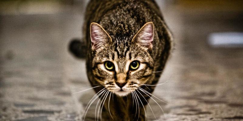 Кошка подкрадывается