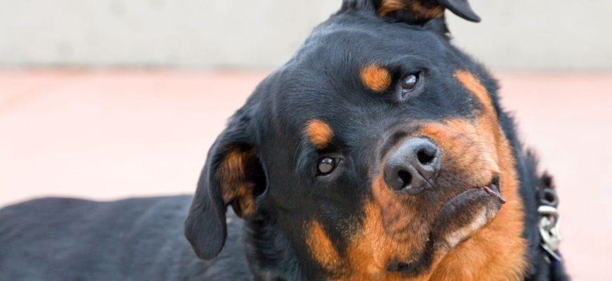 Собака наклоняет голову