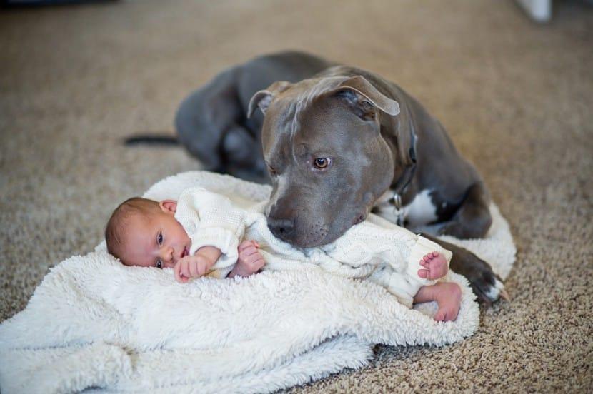 Питбуль и младенец
