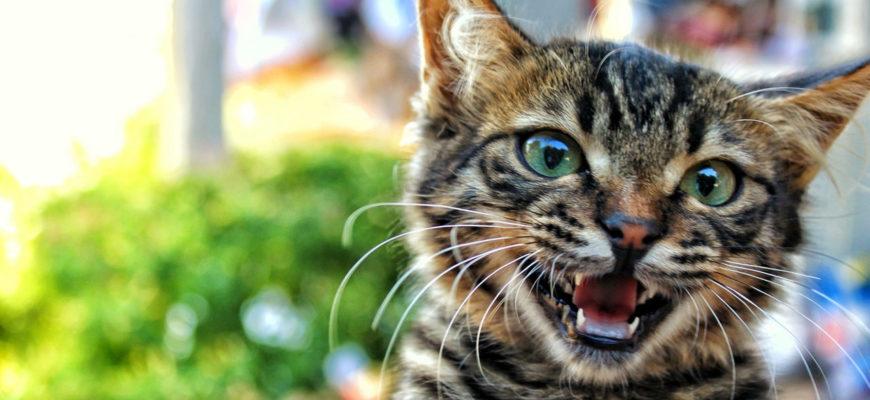 Кошка нападает на хозяина