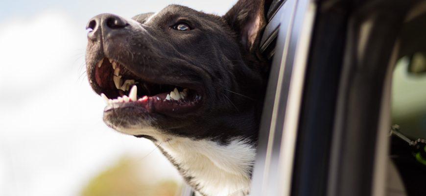 Собака лает в машине
