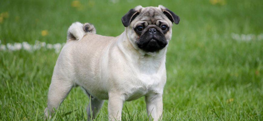 Мопс - брахицефальная порода собак
