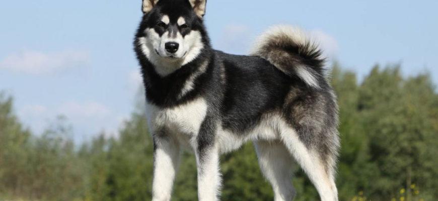 Аляскинский маламут, самая линяющая собака