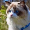 Голубоглазая кошка