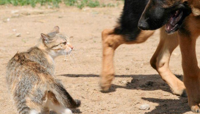 Кошка пугает большую собаку