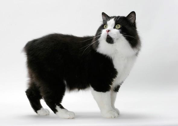 Кимрик - бесхвостая кошка