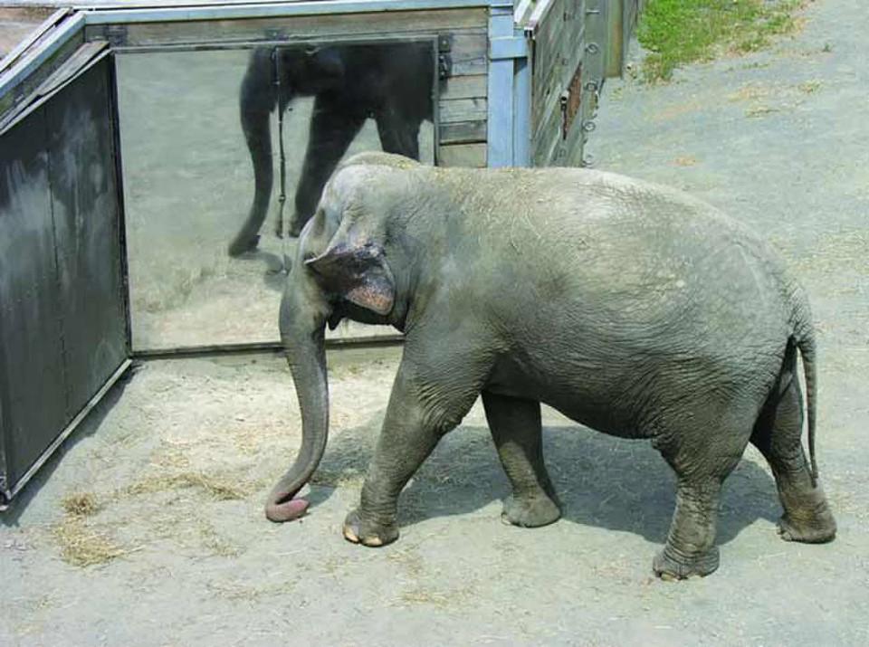 Слон проходит зеркальный тест