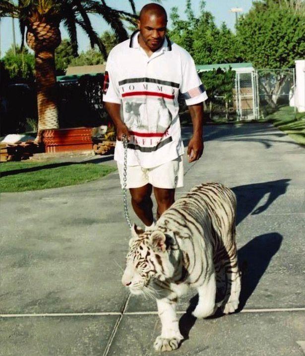Майк Тайсон выгуливает тигра