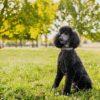Пудель - популярная собака у пожилых людей