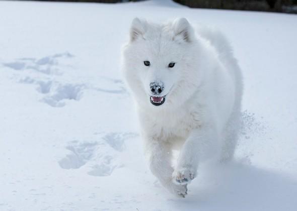 Самоед бежит по снегу