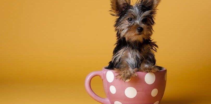 Карманная собака - чихуахуа
