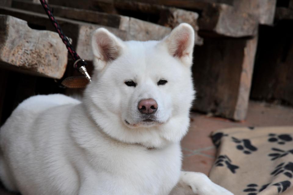 Белая акита-ину