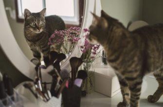 Кошка смотрит на свое отражение в зеркале