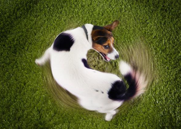 Собака преследует свой хвост