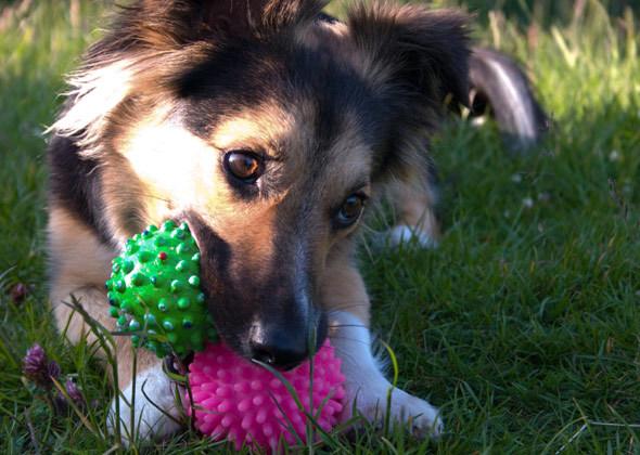 Собака рвет кусает и рвет игрушки