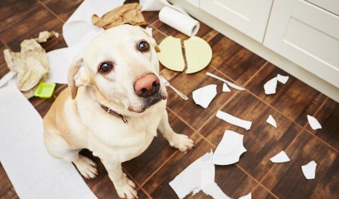 Собака виновато смотрит на хозяина