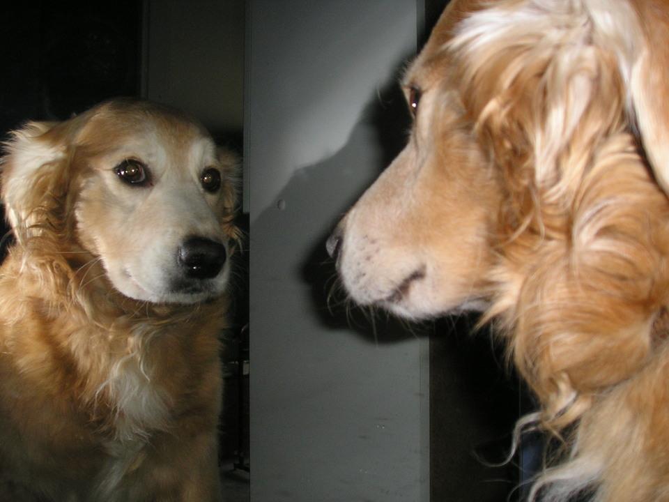 Собака смотрит на свое отражение в зеркале