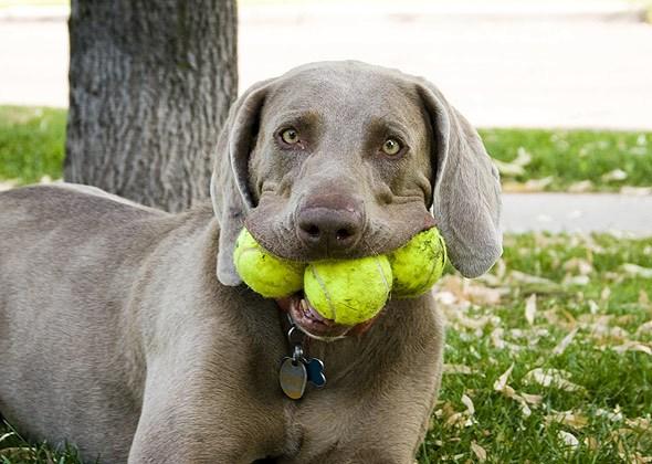 Собака с теннисными мячами