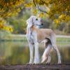 Салюки - древнейшая порода борзых собак