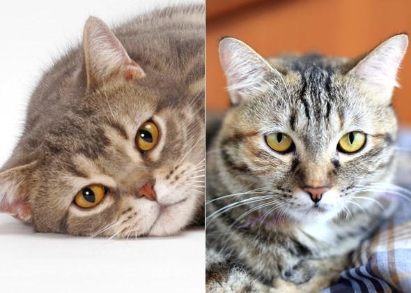 Американская короткошёрстная и Домашняя короткошёрстная кошки