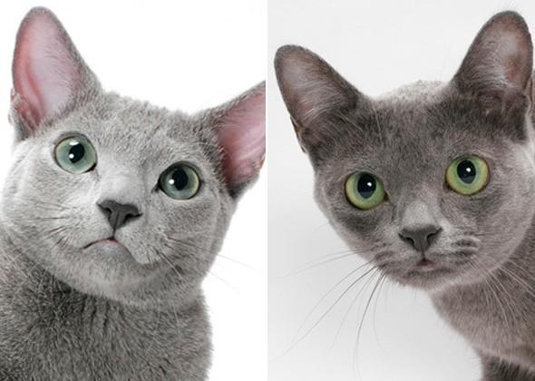 Русская голубая кошка и Корат
