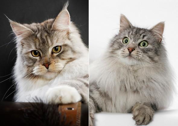 Мейн-кун и Норвежская лесная кошка