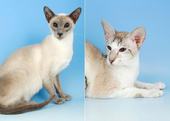 Сиамская кошка и Ориентал