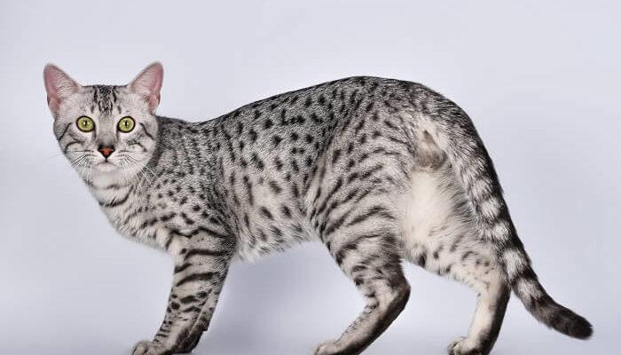 Египетский мау - самая быстрая домашняя кошка