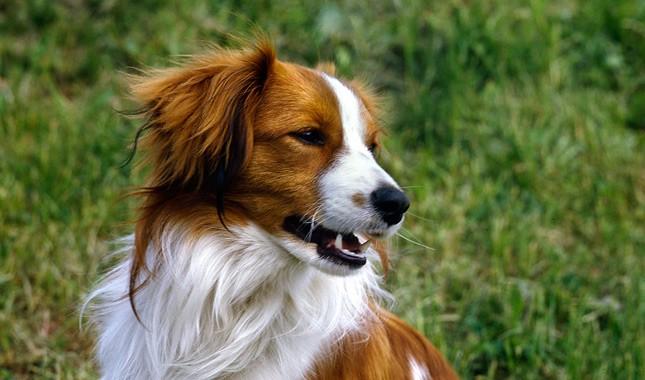 Коикерхондье - собака с серьгами