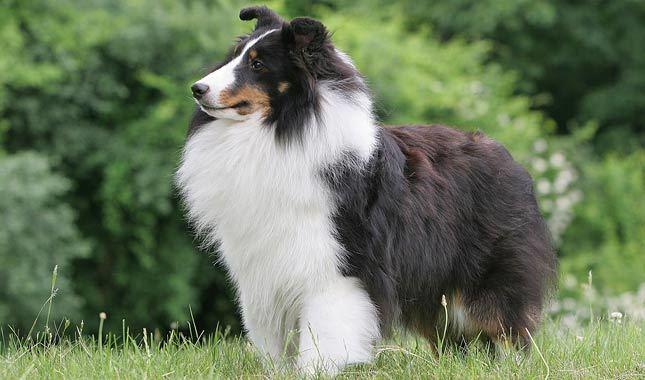 Шетландская овчарка
