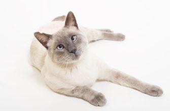 Сиамская кошка - самая разговорчивая кошка в мире