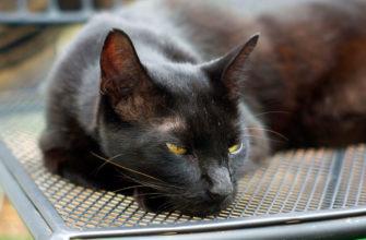 Гавана браун — порода домашних кошек