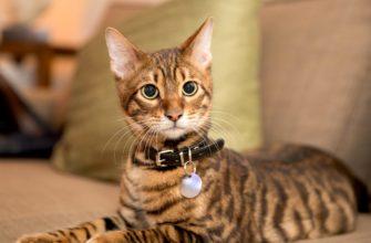 Тойгер — порода домашних кошек, напоминающих тигров