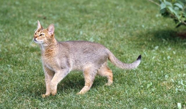 Абиссинская кошка на лужайке