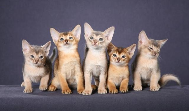 Котята абиссинской кошки