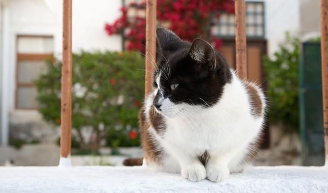 Эгейская кошка сидит на окне