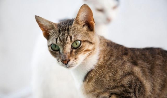 Эгейская кошка с зелеными глазами