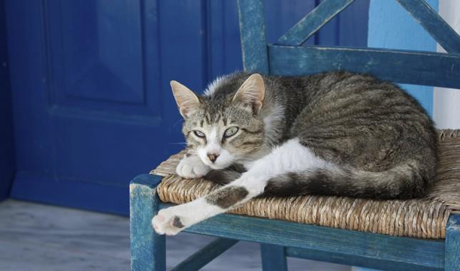 Эгейская кошка лежит на стуле