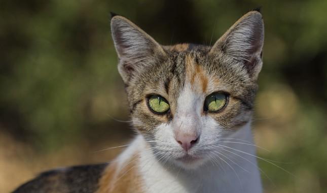 Эгейская кошка крупным планом
