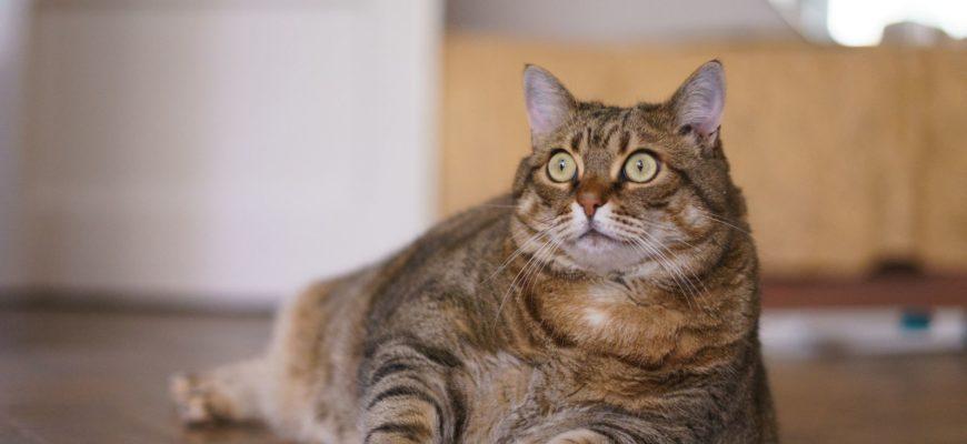 Ожиревшая кошка