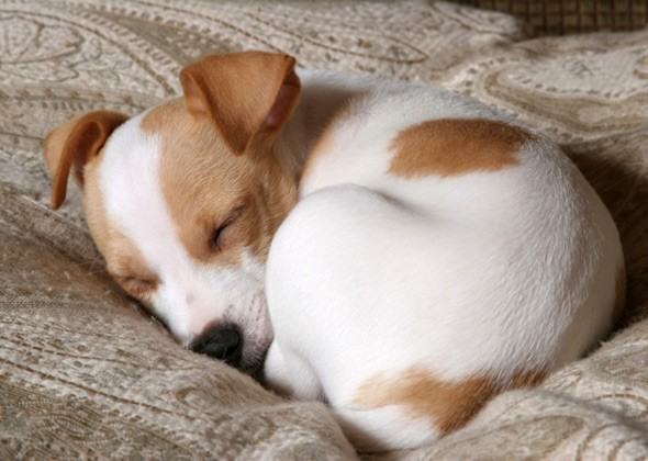 Собака спит свернувшись калачиком