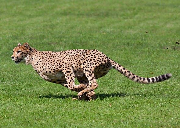 Гепард - самый быстрый спринтер