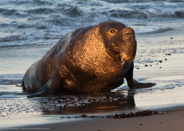 Морской слон - самый глубоководный дайвер