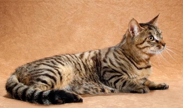 Китайская кошка Дракон Ли (Ли Хуа или Ли Мао)