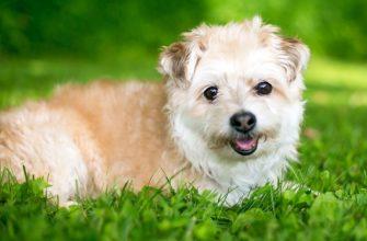 Помапу - дизайнерская порода собак