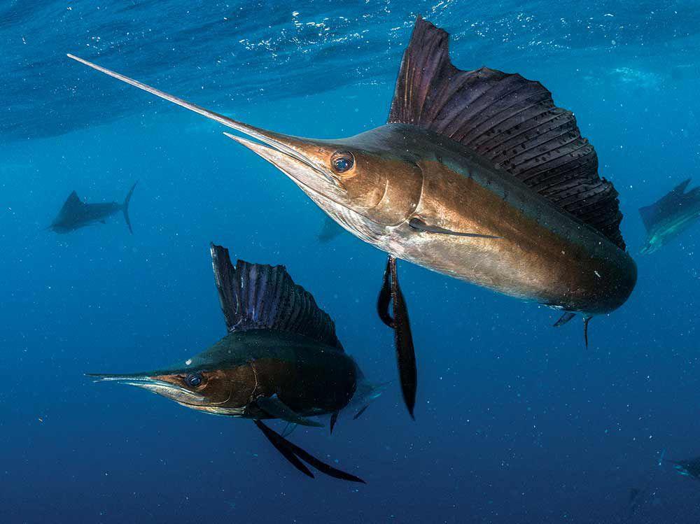 Тихоокеанский парусник - самый быстрый пловец