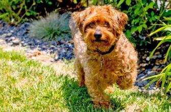 Йоркипу: фото взрослой собаки
