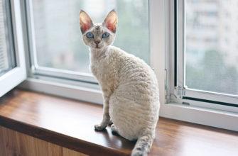 Девон-рекс - порода кошек с необычной вьющейся шерстью