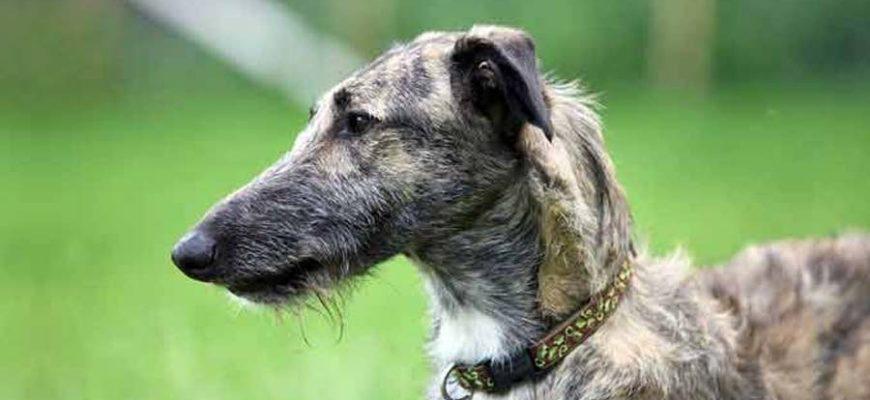 Лерчер - непризнанная охотничья порода собак
